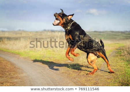 angry rottweiler Stock photo © cynoclub