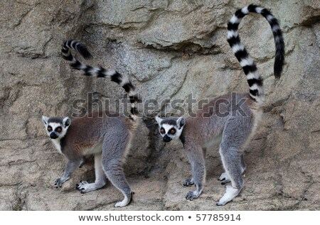 Ring tailed lemur with big yellow eyes Stock photo © Arrxxx
