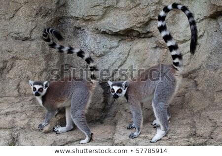 Madagascar · anneau · portrait · ape - photo stock © arrxxx