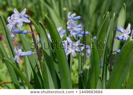 Virág tavasz makró sekély mélységélesség fókuszált Stock fotó © Arsgera