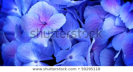 Close up of blue hydrangea flower stock photo © jarenwicklund