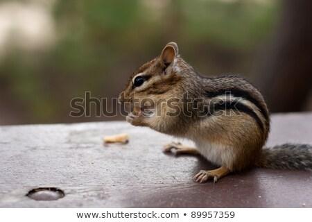 avvisare · chipmunk · seduta · mangiare · tavolo · da · picnic · mano - foto d'archivio © mackflix
