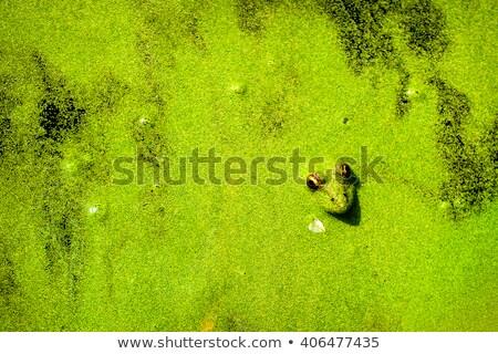 żaba ukryty herb ciemne jezioro świat Zdjęcia stock © Pruser