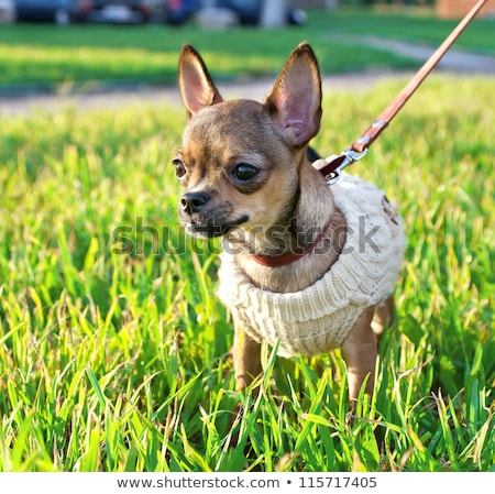 Cute Little Chihuahua Wearing A Jumper Stock photo © stuartmiles