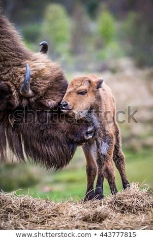 母親 赤ちゃん バイソン 瞬間 公園 米国 ストックフォト © emattil