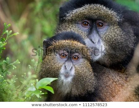 Altın maymun orman doğa Afrika Stok fotoğraf © ajlber