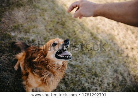 angry dog with bared teeth stock photo © sylverarts