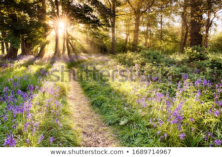 Bluebell path Stock photo © RTimages