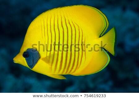 yellow butterfly-fish Stock photo © Mikko
