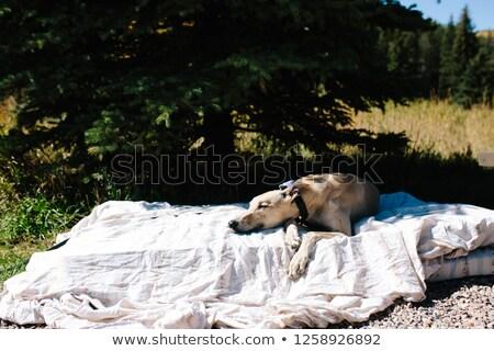 Foto stock: Retired Greyhound Taking A Nap