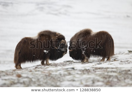 Fighting Musk-ox pair in Norge Stock photo © samsem