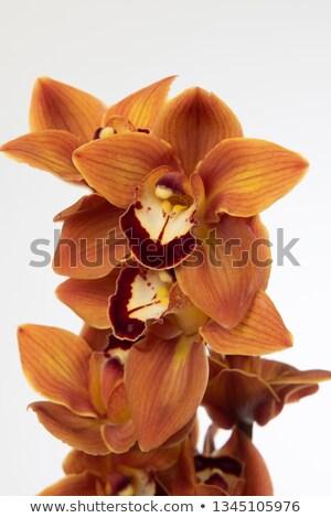 orange cymbidium stock photo © jkraft5