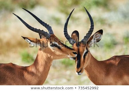 Impala (Aepyceros melampus) Stock photo © dirkr
