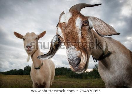 keçi · çim · portre · yeme · halat · yemek - stok fotoğraf © Laks