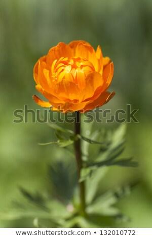 Orange flowers Trollius Asiaticus Stock photo © ultrapro