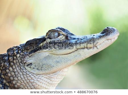 американский · аллигатор · болото · удаленных · природного · живая · природа - Сток-фото © saddako2