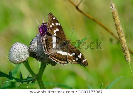 Keizer vlinder bloementuin voorjaar natuur tuin Stockfoto © jonnysek