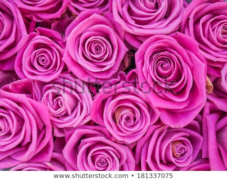 Group of pink roses crouded Stock photo © phila54