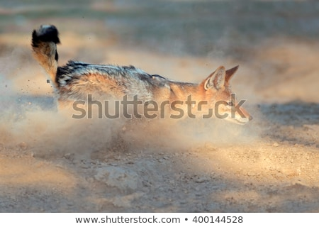 Black-backed Jackal in dust Stock photo © EcoPic
