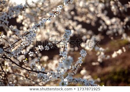 Branco árvore frutífera flor florescimento primavera temporada Foto stock © Anterovium