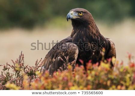marrom · Águia · olho · natureza · pena - foto stock © chrisga