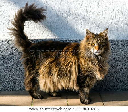 Very cute long haired tabby pet pussycat Stock photo © chrisga