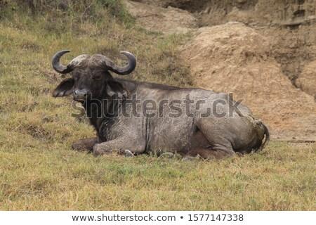 Buffalo Lying Down in Grass Stock photo © JFJacobsz