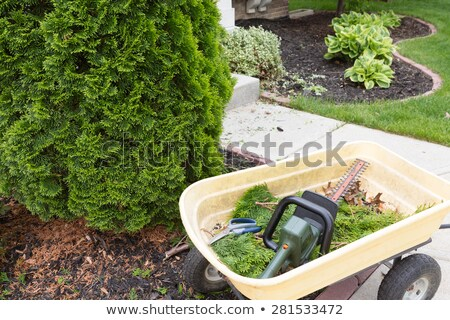 Using a hedge trimmer to trim Arborvitaes Stock photo © ozgur