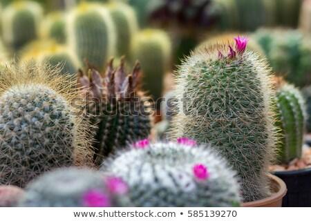 Plastic cactus plant in pot Stock photo © gavran333