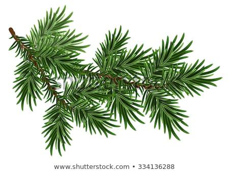Ramo verde soffice pino isolato bianco Foto d'archivio © orensila