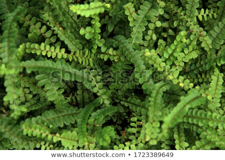 lush green fish bone fern stock photo © pzaxe