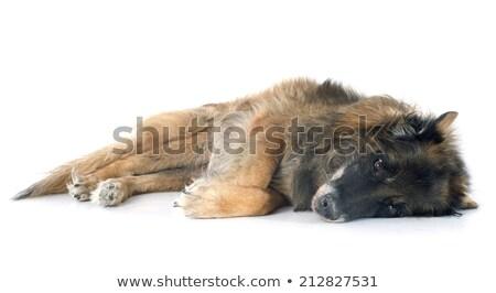 Indiszponált belga juhászkutya fehér kutya stúdió idős Stock fotó © cynoclub