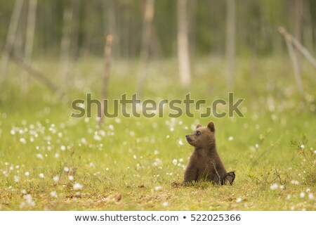 Cute little brown bear cub teddy Stock photo © adrian_n