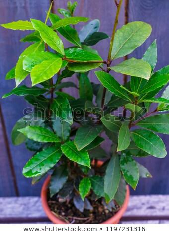 A Laurus nobilis tree Stock photo © bluering