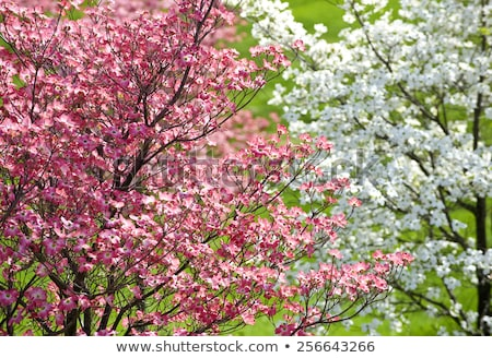 Pink Dogwood Tree Blooms Stock photo © Frankljr