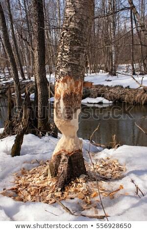 Beavers cut tree stump Stock photo © 5xinc