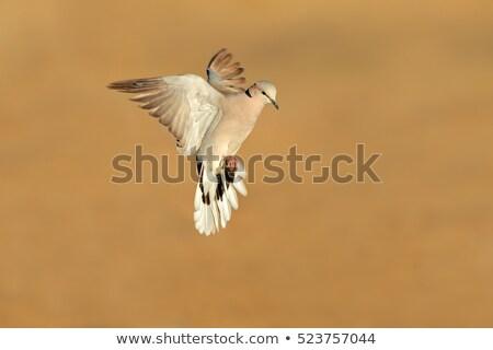 черепахи голубя полет пустыне ЮАР природы Сток-фото © EcoPic