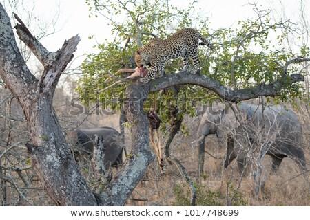 Leopard eating from Elephant carcass. Stock photo © simoneeman
