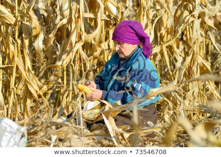 Female farmer hand with corn maize seed Stock photo © stevanovicigor
