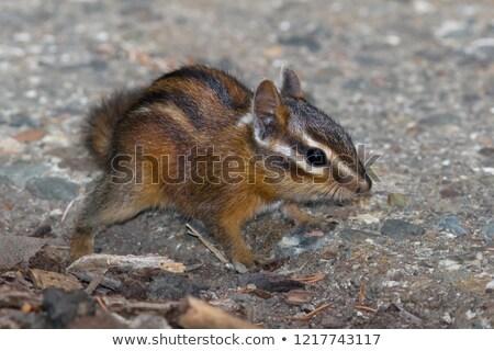 Sonoma chipmunk (Tamias sonomae) Stock photo © dirkr