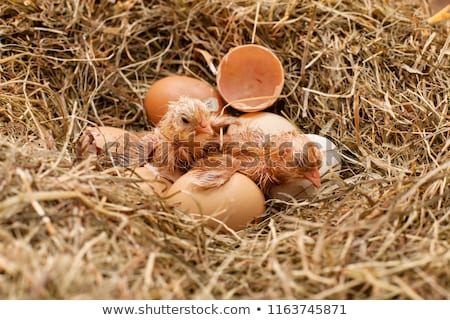 Two newly hatched chickens drying and resting in the hay nest Stock photo © lightkeeper