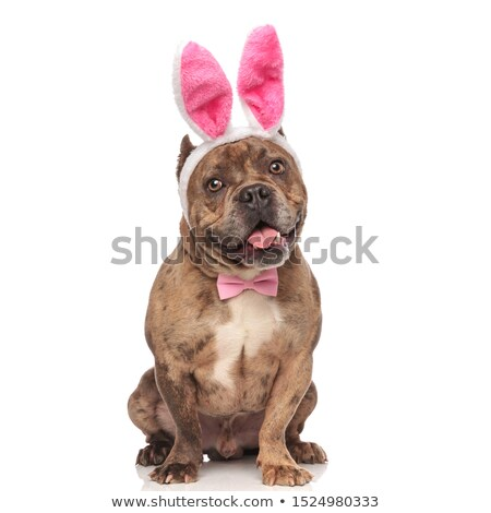 happy american bully wearing pink bunny ears with tongue exposed Stock photo © feedough