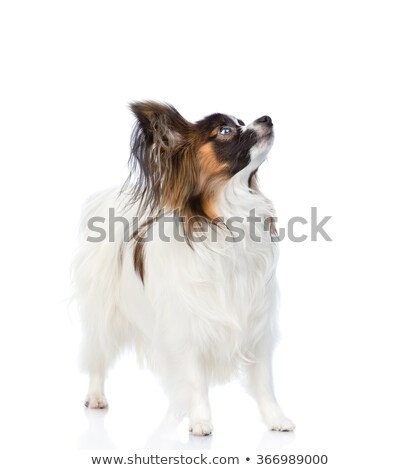 side view of funny and furry toy dog looking up stock photo © feedough