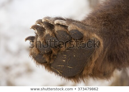 Gris ours patte isolé blanche Photo stock © hittoon