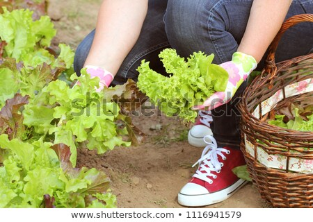légumes · frais · jardin · tomates · de · pomme · de · terre · brocoli - photo stock © virgin