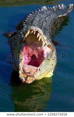 rajz · krokodil · izolált · tárgy · dizájn · elem · mosoly - stock fotó © bluering