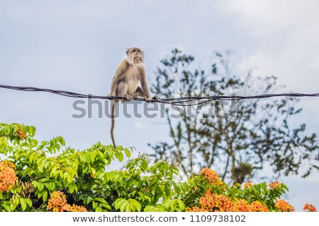 Monkey is trying to walk on the wires carefully Stock photo © galitskaya