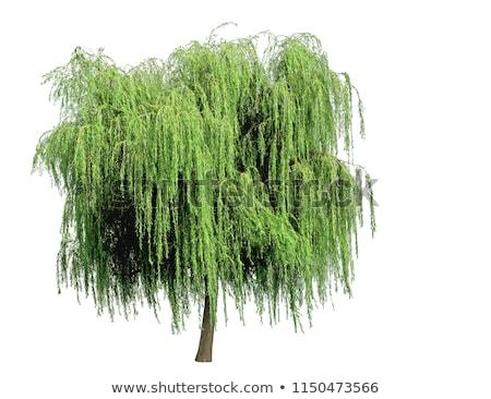 Weeping willow on white Stock photo © AGfoto