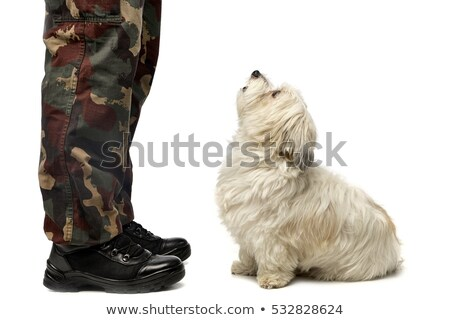 A cute Havanese dog staring at his owner Stock photo © vauvau