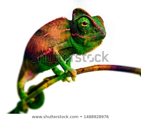 Camaleão ramo colorido isolado azul 3d render Foto stock © orla